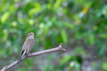 Red-throated Flycatcher or Taiga Flycatcher