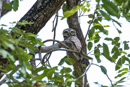 Spotted owlet is a small owl which breeds in tropical Asia