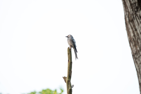ashy drongo is found widely distributed across South and Southeast Asia