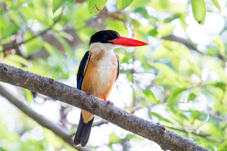 black-capped kingfisher is a tree kingfisher which is widely distributed in tropical Asia. Foto de archivo