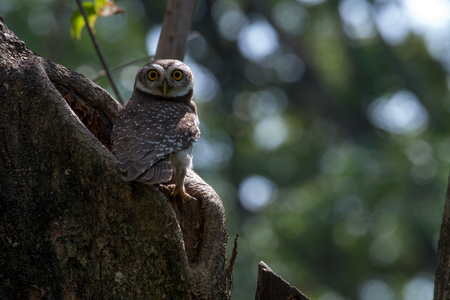 Spotted owlet is a small owl  Banco de Imagens
