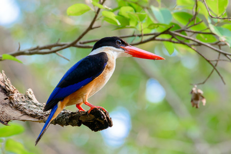black-capped kingfisher is a tree kingfisher which is widely distributed in tropical Asia from India east to China, Korea and Southeast Asia
