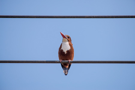 white-throated kingfisher also known as the white-breasted kingfisher is a tree kingfisher