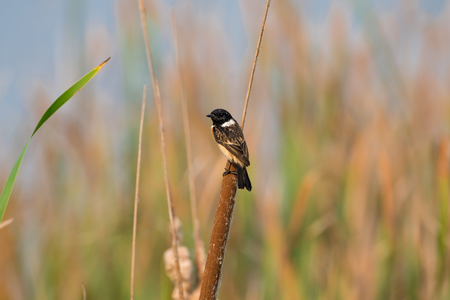 Stejneger's Stonechat Saxicola stejnegeri is a species of stonechat native to eastern Asia