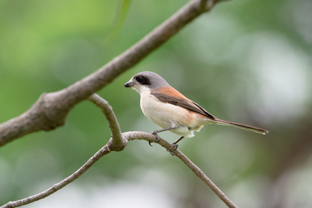 Burmese Shrike or Chestnut-backed Shrike is a species of bird in the family Laniidae. It is found in Bangladesh, Cambodia, China, India, Laos, Myanmar, Thailand, and Vietnam.
