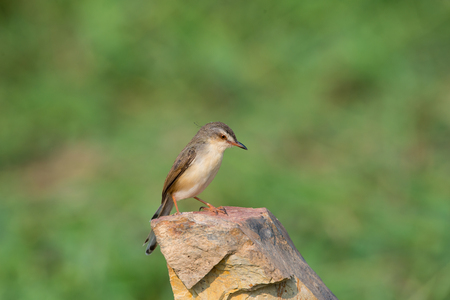 Plain Prinia or White-browed Prinia with blur green background Stock Photo