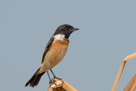 Siberian stonechat or Asian stonechat is a recently validated species of the Old World flycatcher family. It breeds in temperate Asia and easternmost Europe and winters in the Old World tropics.