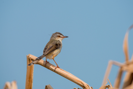 Plain Prinia or White-browed Prinia with blue sky background Stock Photo