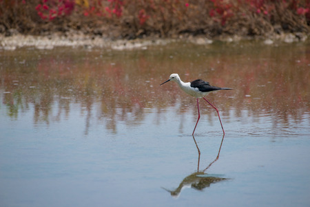 Black-winged stilt have long pink legs, a long thin black bill and are blackish above and white below, with a white head and neck with a varying amount of black, breeding habitat of all these stilts is marshes, shallow lakes and ponds. Stock Photo
