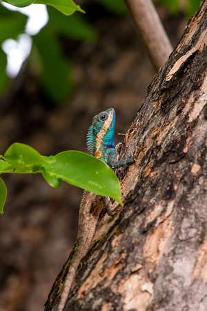 Blue crested lizard is the bright blue to turquoise colour of the head, throat and parts of the body.