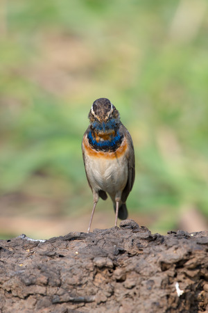 Male Bluethroats from Alaska, Bluethroat is one of the handful of birds that breed in North America and winter in Asia.