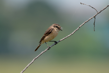 Female Siberian stonechat or Asian stonechat is a recently validated species of the Old World flycatcher family. It breeds in temperate Asia and easternmost Europe and winters in the Old World tropics.