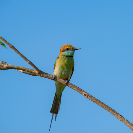 Green bee-eater or little green bee-eater are mainly insect eaters and they are found in grassland, thin scrub and forest often quite far from water.