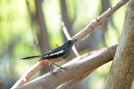 Oriental magpie-robin. They are distinctive black and white birds with a long tail that is held upright as they forage on the ground or perch conspicuously. they are common birds in urban gardens Stock Photo