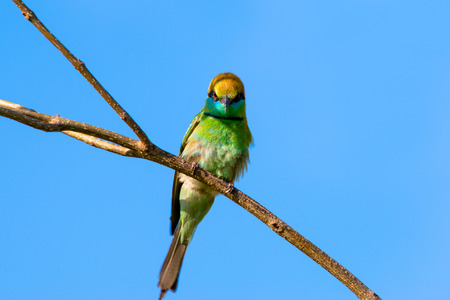 Green bee-eater or little green bee-eater is a near passerine bird in the bee-eater family. They are mainly insect eaters and they are found in grassland, thin scrub and forest often quite far from water. 스톡 콘텐츠 - 103072344