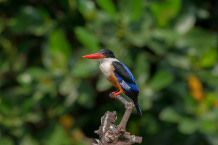 Black-Capped Kingfisher, usually seen on coastal waters and especially in mangroves, it is easily disturbed, but perches conspicuously and dives to catch fish but also feeds on large insects.