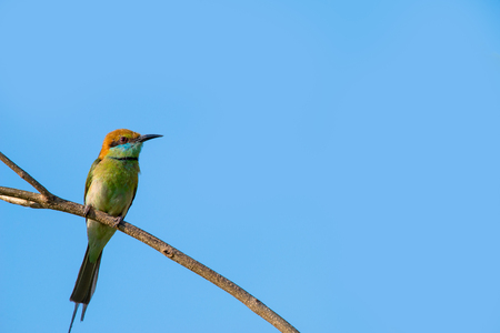 Green bee-eater or little green bee-eater is a near passerine bird in the bee-eater family. They are mainly insect eaters and they are found in grassland, thin scrub and forest often quite far from water. 스톡 콘텐츠 - 103096547