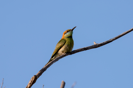 Green bee-eater or little green bee-eater is a near passerine bird in the bee-eater family. They are mainly insect eaters and they are found in grassland, thin scrub and forest often quite far from water. 스톡 콘텐츠 - 104624075