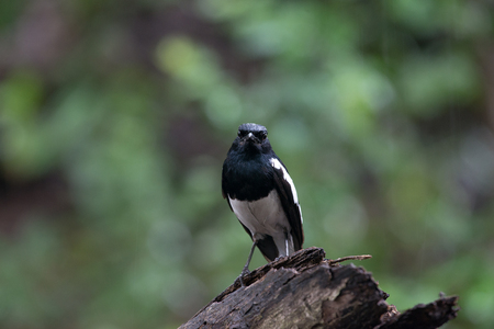 Male Oriental magpie-robin, they are common birds in urban gardens as well as forests. Standard-Bild
