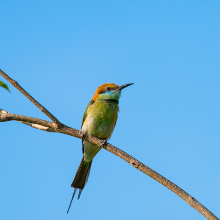 Green bee-eater or little green bee-eater is a near passerine bird in the bee-eater family. They are mainly insect eaters and they are found in grassland, thin scrub and forest often quite far from wa