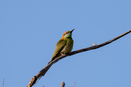 Green bee-eater or little green bee-eater is a near passerine bird in the bee-eater family. They are mainly insect eaters and they are found in grassland, thin scrub and forest often quite far from water.