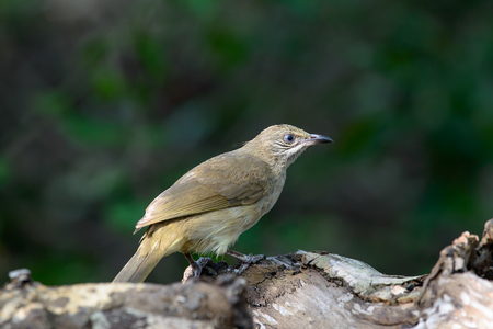 streak-eared bulbul is a member of the bulbul family of passerine birds. It is found from Thailand and northern and central Malay Peninsula to southern Indochina. Its natural habitat is subtropical or tropical moist lowland forests.