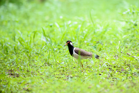 Red-wattled lapwing is an Asian lapwing or large plover, a wader in the family Charadriidae. They are ground birds that are incapable of perching. Stock Photo
