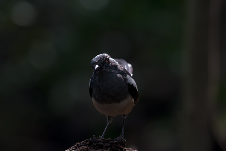 Oriental magpie-robin, they are common birds in urban gardens as well as forests. Standard-Bild