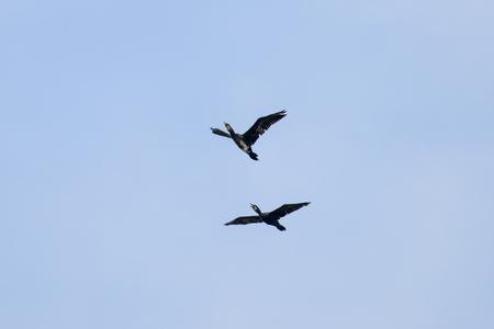 Couple of Cormorant Flying with blue sky 版權商用圖片