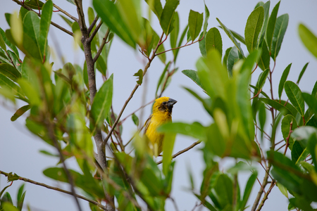 Asian golden weaver is a species of bird in the Ploceidae family. It is found in Cambodia, Indonesia, Laos, Myanmar, Thailand, and Vietnam. 写真素材