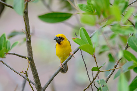 Asian golden weaver is a species of bird in the Ploceidae family. It is found in Cambodia, Indonesia, Laos, Myanmar, Thailand, and Vietnam. Stockfoto