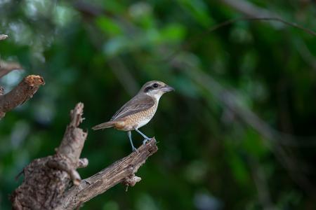 Females Brown shrike