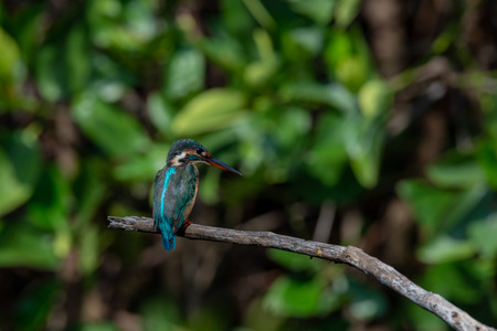 Common kingfisher also known as the river kingfisher 免版税图像