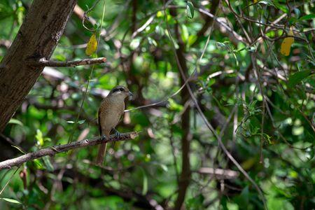 Femelles Les Pies-grièches brunes ont tendance à avoir des festons fins sur le dessous et le masque est brun foncé et moins marqué que chez le mâle. se reproduit en Asie du Nord et hiverne en Asie du Sud.