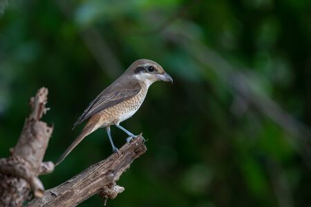Females Brown shrike tend to have fine scalloping on the underside and the mask is dark brown and not as well marked as in the male. breeds in northern Asia and winters in South Asia.