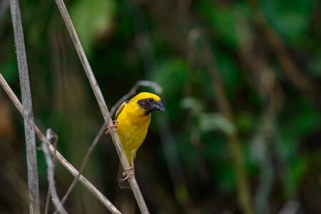 Asian Golden Weaver building nest, use fresh leaves of grass woven mesh between branch on tree