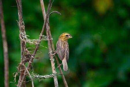 Asian Golden Weaver construye un nido, usa hojas frescas de malla tejida de hierba entre las ramas del árbol Foto de archivo