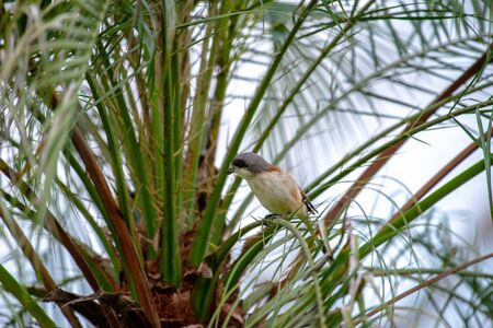 Female Burmese Shrike.  Its natural habitats are subtropical or tropical moist lowland forest and subtropical or tropical moist montane forest.