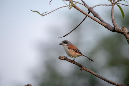 Female Burmese Shrike.