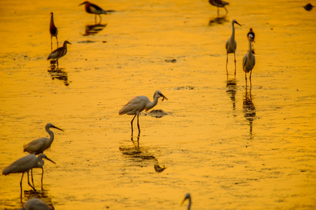 Heron or Egret fishing with beautiful golden hours sunset background Stock fotó