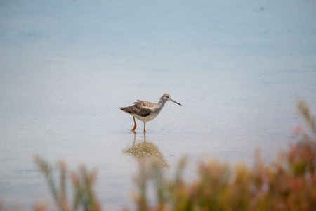 Common redshank at Bangpu Recreation Center, Samut Prakan, Thailand