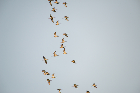 group of flying migrating shore birds in thailand 免版税图像