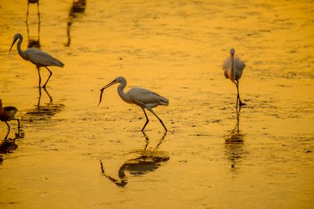 Heron or Egret fishing with beautiful golden hours sunset background Standard-Bild - 121842644