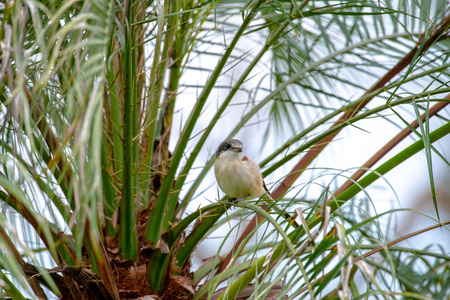Female Burmese Shrike.  Its natural habitats are subtropical or tropical moist lowland forest and subtropical or tropical moist montane forest.