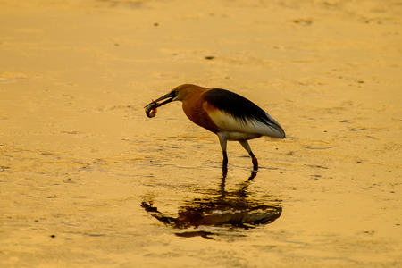 Chinese Pond Heron fishing with beautiful golden hours sunset background