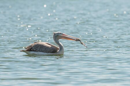 Spot billed pelican or grey pelican in Thailand Banco de Imagens - 128856946