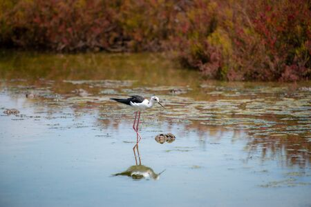Black-winged Stilt in wetland with reflection