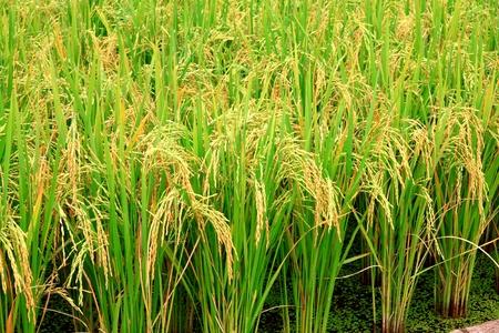 rice plant Stock Photo - 12030885