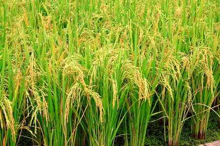rice plant Stock Photo - 12030885