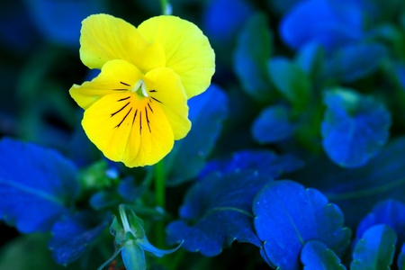 Stock Photo: Colorful viola tricolor flowers in garden
